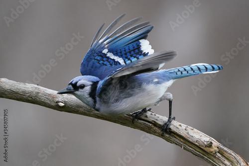 Blue Jays flying Canvas Print