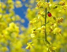 Ladybug On Yellow Wildflower