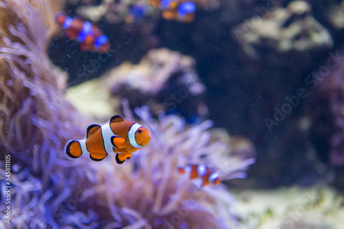 Slika na platnu Clownfish Swimming In Sea