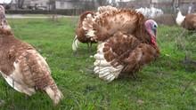 Turkey Birds Organic Farm Beau...
