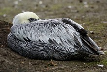 Close-up Of Pelican Resting On Field