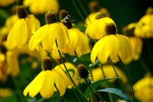 Close-up Of Blooming Yellow Coneflower