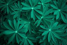 Juicy Foliage Of Lupines. Beau...