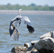 A Heron Flying Over Rocks And Water.