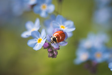 Lady Bug On Forget Me Not.
