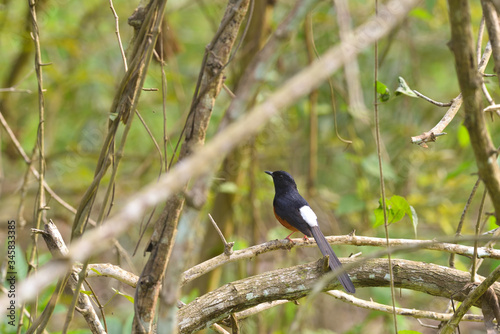 black winged blackbird Canvas Print