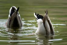 Two Male Mallards Feeding On A...