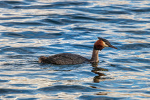 Great Crested Grebe, Swimming At Lake Alexandrina In New Zealand.