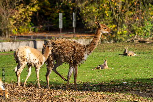 Photo Vicunas, Vicugna Vicugna, relatives of the llama