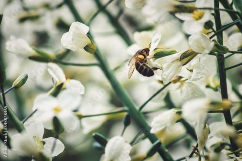 Photo Abeille caucasienne la tête dans le pistil d'une fleur blanche d'épinard géant e