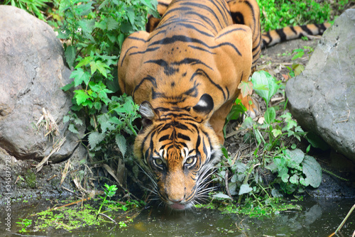 Close-up Of Alert Tiger Drinking Water Canvas Print