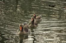 Three Mallard Ducks Swimming In Water
