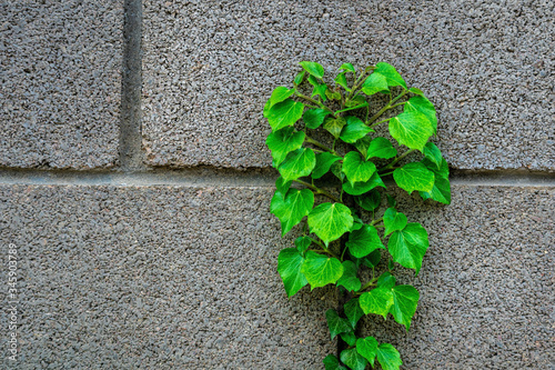 Green leave ivy covered concrete brick wall, texture background Wallpaper Mural