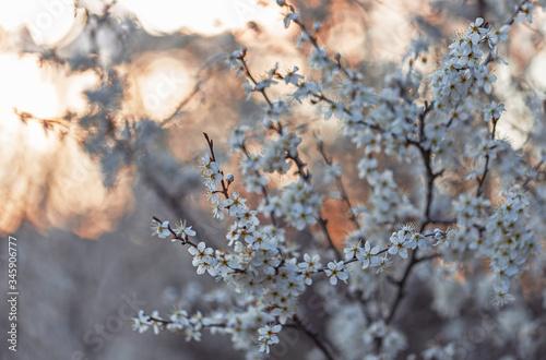 Fotografie, Tablou Prunus spinosa, called blackthorn or sloe tree blooming in the springtime
