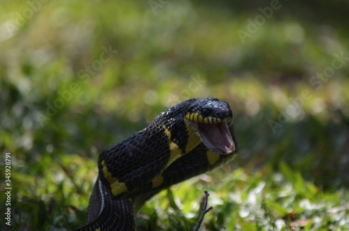 Close-up Of Alert Snake With Mouth Open On Field Canvas Print