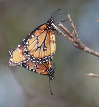 A Pair Of Monarch Butterflies ...