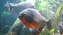 Close-up Of Red-bellied Piranh...