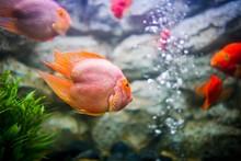 Red Blood Parrot Fish In  Aqua...