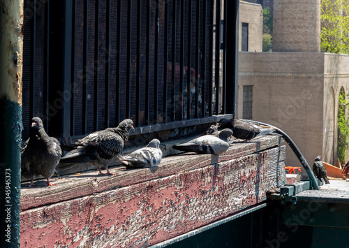 Photo a group of scruffy rock pigeons, also called rock doves or common pigeons, roosting on a ledge of old, weathered wood