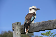 Low Angle View Of Kookaburra P...