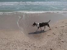 A Purebred Dog Walks Along The...