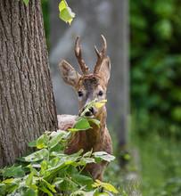 Deer Walking Peeking Behind A Tree