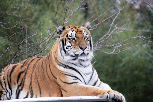 Bengal tiger on platform with trees behind  -Also known as the Indian Tiger, the Wallpaper Mural