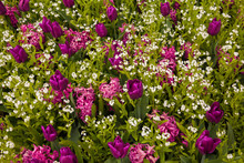 Beautiful Display Of Colorful Purple Tulips And Pink Hyacinths At Butchart Gardens In Victoria, BC, Canada In Spring