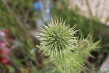 Stock Photo Of Echinops, Globe...
