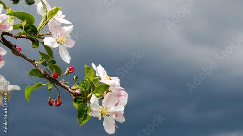 Gałązka kwitnącej jabłoni Fototapeta