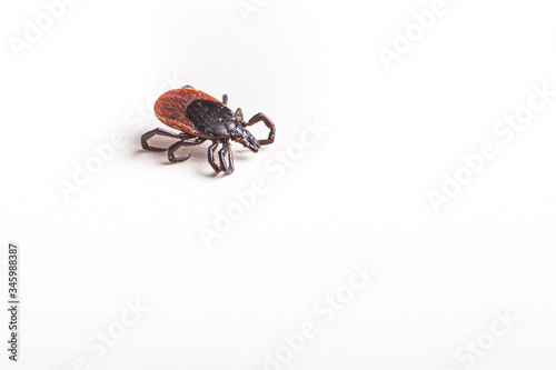 Photo Tick - parasitic arachnid blood-sucking carrier of various diseases