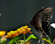Up Close Profile Of An Eastern Black Swallowtail Butterfly On An Orange And Yellow Lantana Flower With Selective Focus.