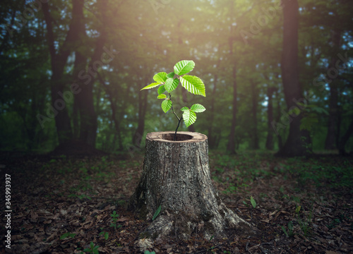 Young tree emerging from old tree stump