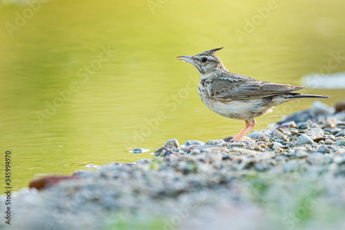 Crested lark drinking on the bank of a river Canvas-taulu