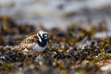 Ruddy Turnstone Walking On The...