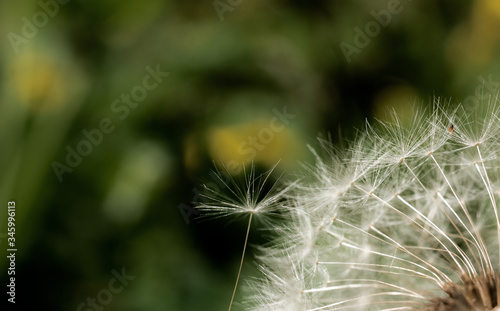 Airy dandelion seeds in the white fluffy hat of this flower Canvas Print