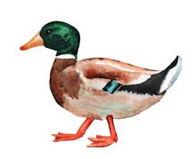 Male Wild Duck Watercolor