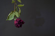 A dry burgundy rose is suspended upside down and casts a shadow on a dark background. The shadow of a faded rose. Withered rose. Dark background.