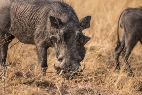 Cuadros en Lienzo Warthog in the savanna of Namibia