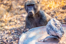 Smart Baboon Knows How Opening...