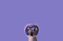 Sphinx Cat On A Plain Background. Sphinx Art