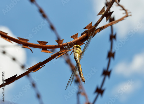 Photo Dragonfly Anisoptera is sitting on rusty razor wire.