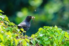 Blackbird (Turdus Merula) Male On Ivy Hedge Carrying Worms To Nest, Taken In The UK