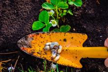 Mole Cricket Larvas On A Small Gardening Shovel Found In A Strawberry Garden.