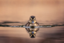 Cute Young Duckling, Only Few ...
