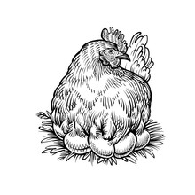 Hen On The Nest, Vector Sketch. Farm Chicken With Eggs, Vintage Illustration In Engraving Style.
