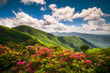 canvas print picture - Pink mountain laurel flowers along the Blue Ridge Parkway near Asheville, North Carolina. These flower blooms are common in the Southern Appalachian Mountains and make for beautiful scenic landscapes.
