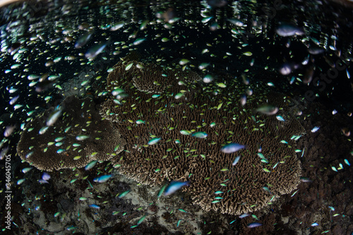 Tiny damselfish swarm above a shallow coral reef in Indonesia as they feed on planktonic organisms Canvas Print