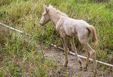 Dramatic Image Of A Injured Baby Horse In The Countryside Mountains Of The Dominican Republic.