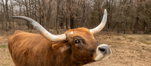 Texas Longhorn Beef Cattle Cow, Bos Taurus, With Typical Long Horns In Closeup With Nose Up, While Standing In A Pasture With Trees In The Background.
